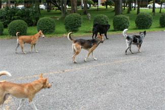 Chiang Mai Feral Dog Packs